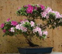 rhododendron-ab1.jpg