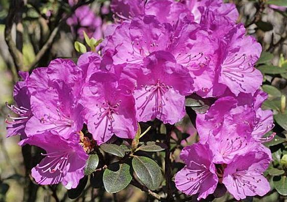 rhododendron-ab3.jpg